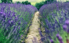 Wallpaper the countryside, the way, trees, lavender, lavender field, bokeh, farm, field