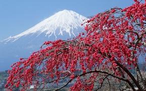 Picture snow, tree, Japan, mountain, Sakura, peak, Fuji