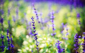 Picture flowers, lilac, lavender, nature
