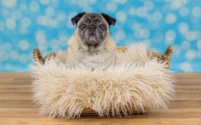 Picture look, basket, dog, pug, floor, fur, face, sitting, blue background, bokeh, doggie