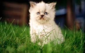Picture cat, white, cat, macro, kitty, background, sitting, cat