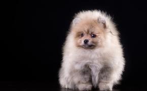 Wallpaper Spitz, fluffy, puppy