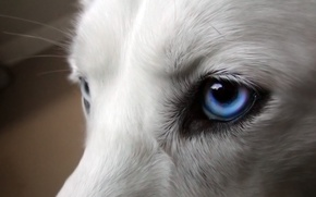 Picture white, look, animal, dog
