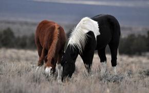 Wallpaper pair, walk, grass, horse