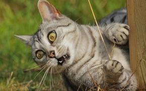 Picture eyes, look, Koshak, Tomcat, aggressive