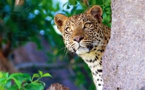 Picture face, stone, leopard, curiosity, vyhladavat