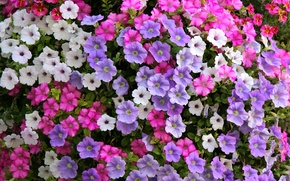 Picture white, lilac, pink, Petunia
