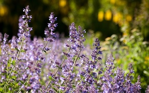 Picture macro, meadow, lavender