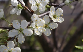 Picture spring, white, flowers, plum tree