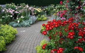 Picture flowers, roses, track, garden, UK, Devon, colorful, the bushes, Rosemoor Garden