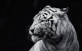 Picture cat, tiger, animal, black and white, black background