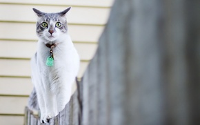 Picture cat, the fence, walk