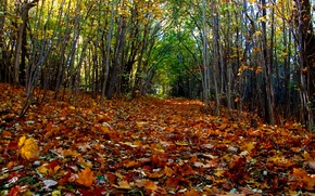 Picture autumn, forest, leaves, trees, forest, Nature, falling leaves, grove, trees, autumn, leaves, fall