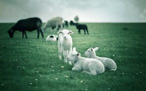 Picture field, sheep, lambs