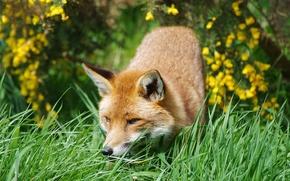 Wallpaper Fox, animal, red, grass, Fox, forest