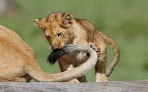 Picture cat, the game, Leo, tail, cub, kitty, lion