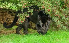 Picture greens, summer, face, berries, foliage, predator, power, wild cat, zoo, black Jaguar