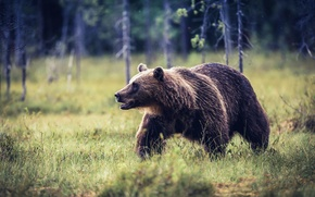 Picture summer, nature, bear