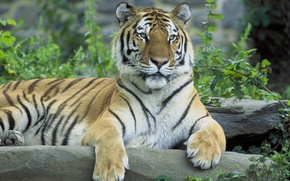 Picture tiger, Siberian tiger, Siberian