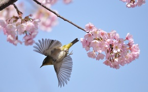 Picture flight, branches, cherry, bird, spring, blooming