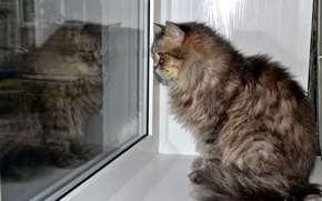 Picture cat, reflection, window, grey.