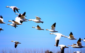Picture white, Canada, nature, autumn, birds, fly, blue sky, duck, fall, wilderness