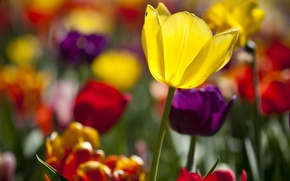 Picture flowers, colored, tulips, Sunny, a lot, different