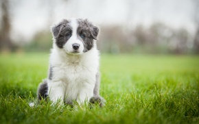 Picture field, grass, dog, meadow, puppy, Wallpaper from lolita777, Aussie, grey with white