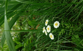 Picture grass, flowers, Wallpaper, Background, saver, Daisy, white flowers, little flowers, The Background On The Desktop, …