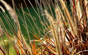 Picture grass, macro, nature, ears