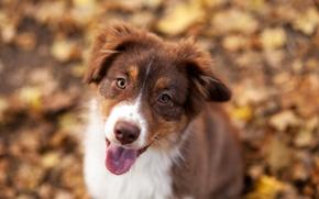 Picture autumn, foliage, dog, Border collie