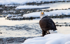 Picture winter, snow, bird, predator, bald eagle
