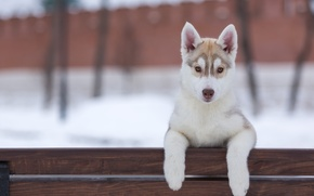 Picture look, dog, puppy, husky