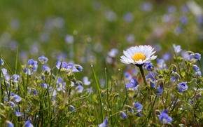 Picture field, grass, petals, Daisy, meadow