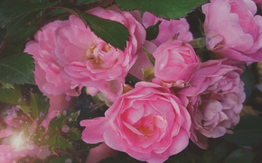 Picture flowers, rose, plant