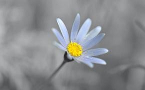 Picture flower, petals, Daisy