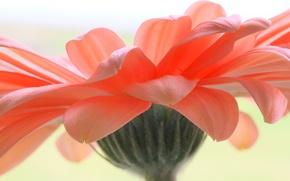 Wallpaper flower, petals, gerbera