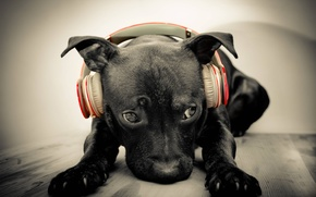 Picture face, music, Wallpaper, dog, headphones, wallpapers