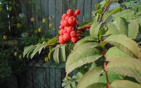 Picture autumn, Rowan, branch berries