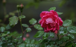 Picture drops, rose, Bud, after the rain