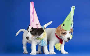 Picture dogs, puppies, hats