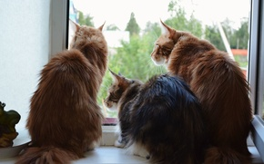 Picture cats, three, Maine Coon