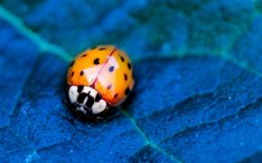 Picture flower, nature, blue, leaf, insect, vegetation, ladybird, eetle