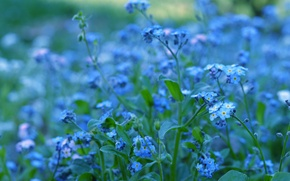 Picture greens, macro, flowers, nature, color, plants, blur, blue, blue, brightness, forget-me-nots
