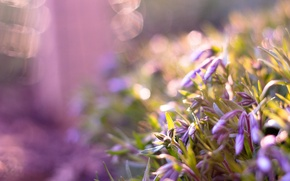 Picture flowers, glare, lilac, buds
