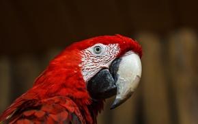 Picture animals, look, macro, eyes, bird, feathers, beak, parrot, Ara