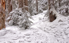Picture forest, snow, trees, nature