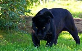 Picture predator, Panther, Jaguar