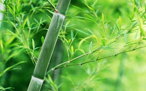 Picture leaves, stem, Bamboo