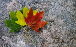 Picture leaves, yellow, red, green, three, colorful, maple, autumn